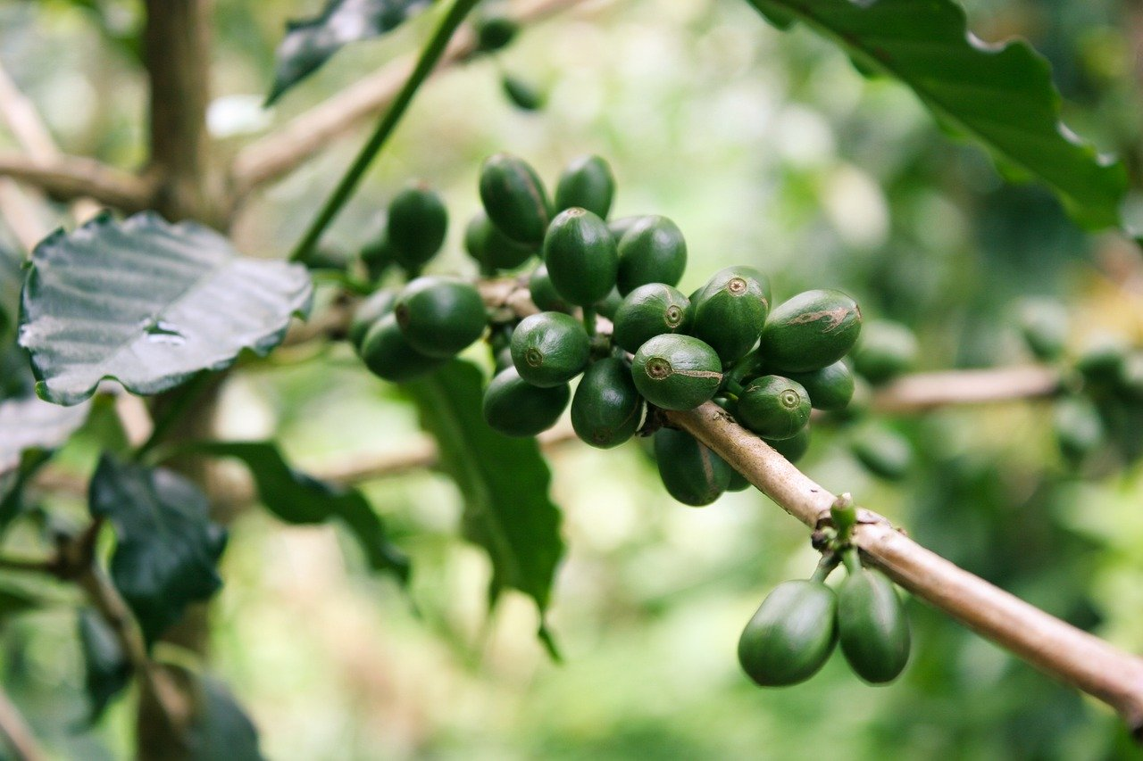 baie de café vert